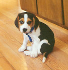Crosby as a puppy