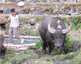 Water buffalo in China.