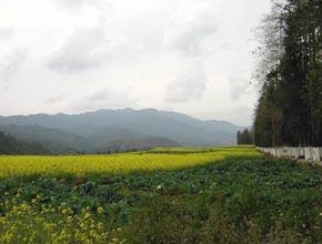 canola fields near Tengchong, China